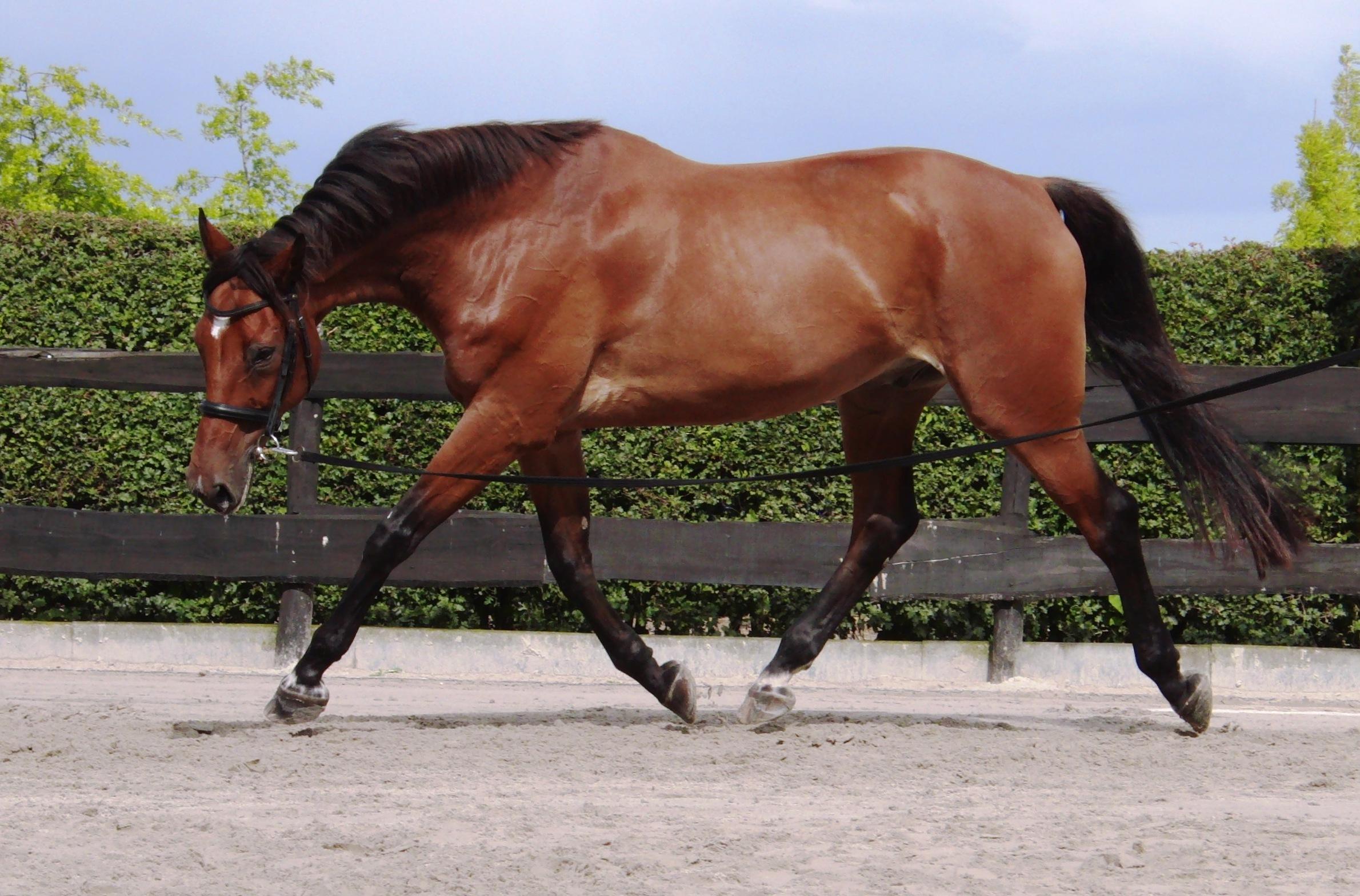 Longeren is een paard aan een lange lijn (longe) in een cirkel om je heen laten lopen.